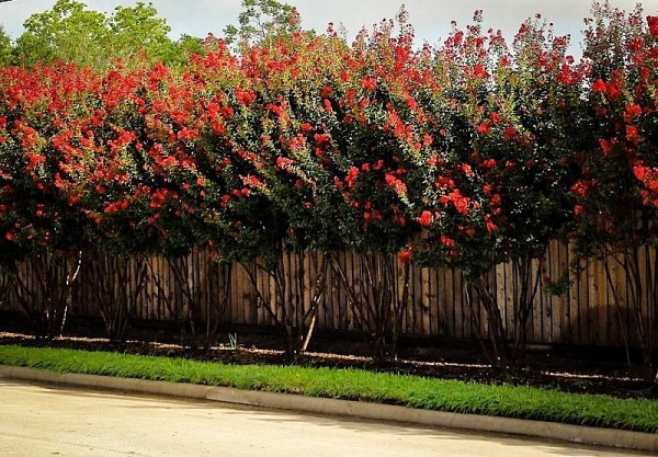 red rocket crape myrtle trees