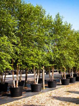 birch trees buy birch