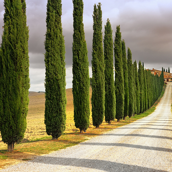 Birch Tree Fall Wallpaper Close Up Italian Cypress For Sale Online The Tree Center