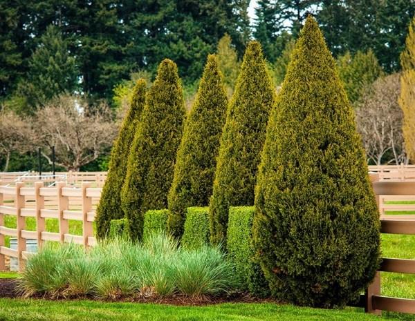 spartan juniper trees online