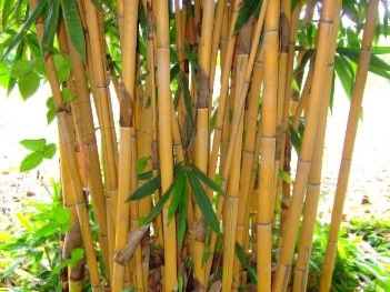 bamboo trees for sale
