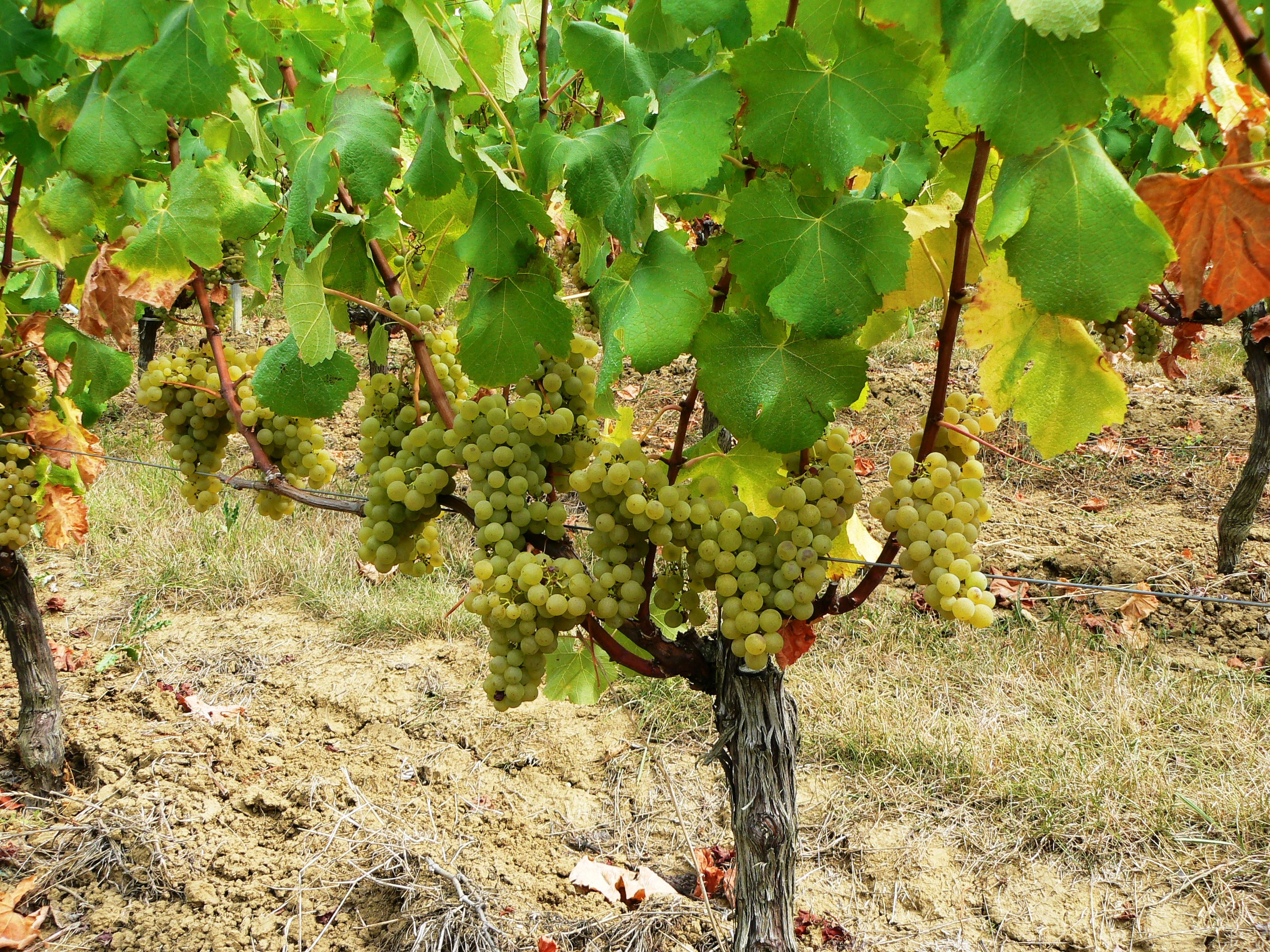 a winery makes the case for machine harvesting grapes wine