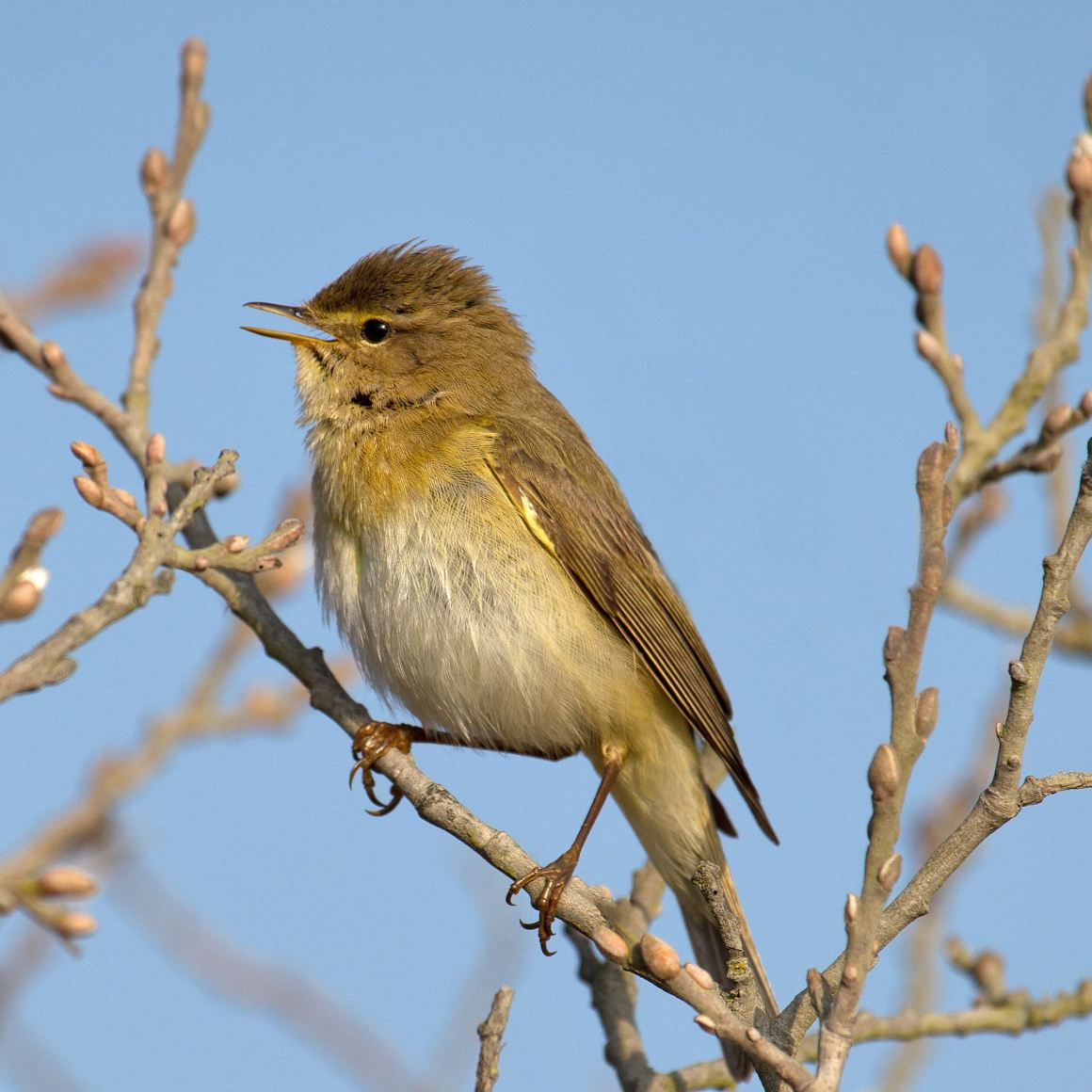 Willow warblers have 24-hour circadian rhythms even in the constant Arctic light. Credit: Andreas Trepte, www.photo-natur.net/Wikimedia Commons, CC BY-SA 2.5