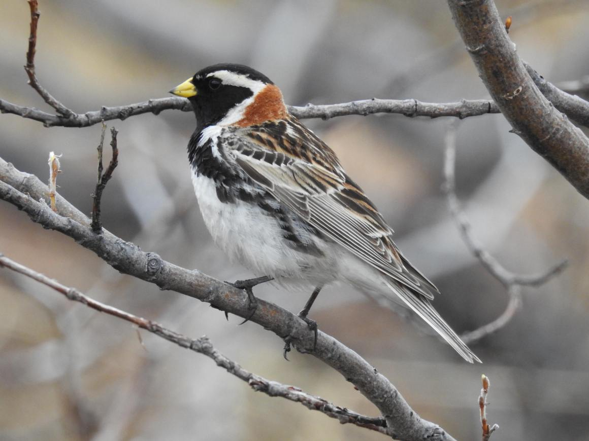 Lapland buntings studied in Alaska show clear 24-hour rhythms the constant light. They are active for most of the day but rest for a few hours, usually when temperatures drop. Credit: Bhanu Sridharan