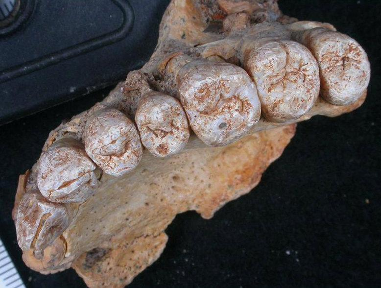 A close-up view of the teeth accompanying the left maxilla of human remains from Misliya Cave in Israel, the oldest remains of our species Homo sapiens found outside Africa, is provided in this photo released on January 25, 2018. Credit: Handout via Reuters/ Israel Hershkovitz/Tel Aviv University
