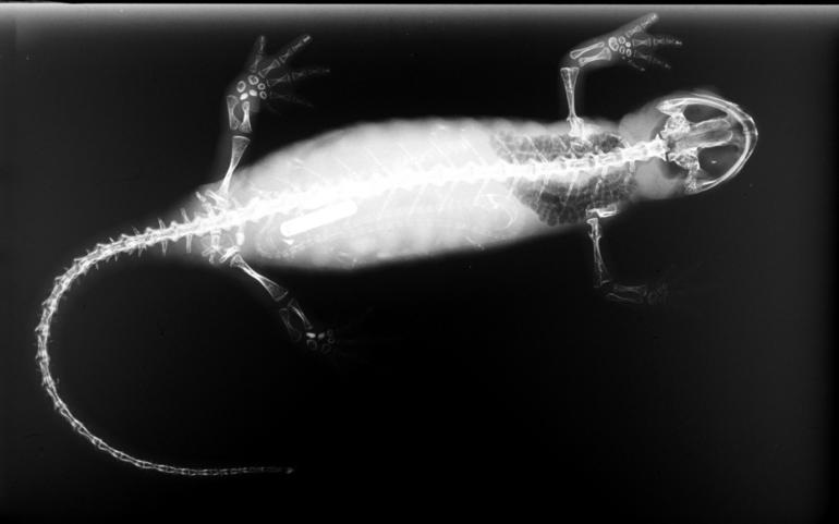 An X-ray of a salamander. Most salamanders are 10-20 cm long. Credit: Franco Andreone/Wikimedia Commons, CC BY-SA 2.5