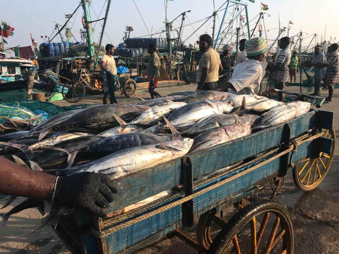 The tuna catch from a fishing trip. Credit: Supriya Vohra