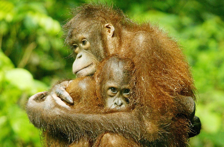 Dramatic decline in Borneo's orangutan population as 150,000 lost in 16 years