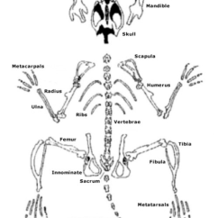 Mouse Skeletal Diagram 1991 22re Wiring System Reconstruction Of The Skeleton Pangburn S Posts Image Result For Rodent
