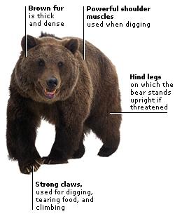 brown bear diagram john deere skid steer wiring diagrams an interactive image