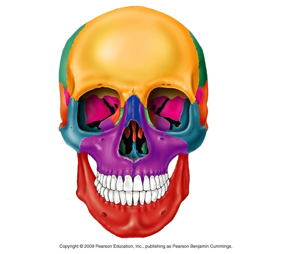 blank skull diagram anterior kenmore dryer parts view of