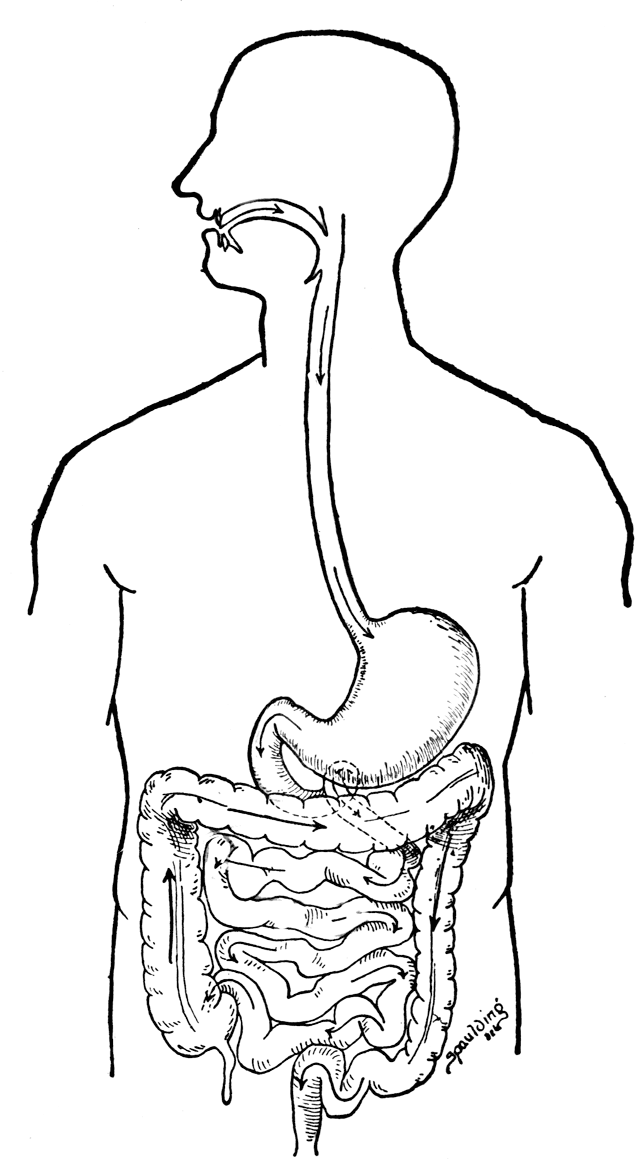 human respiratory system diagram unlabeled jeep grand cherokee wiring 2000 digestive