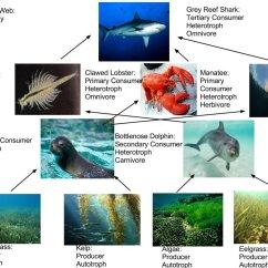 Tropical Rainforest Food Web Diagram How To Read Er Amazon Chain Toyskids Co Manatee Pyramid