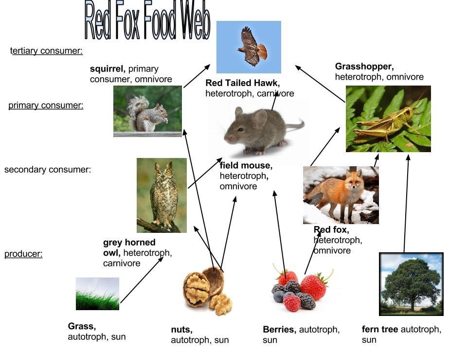 red fox foodweb