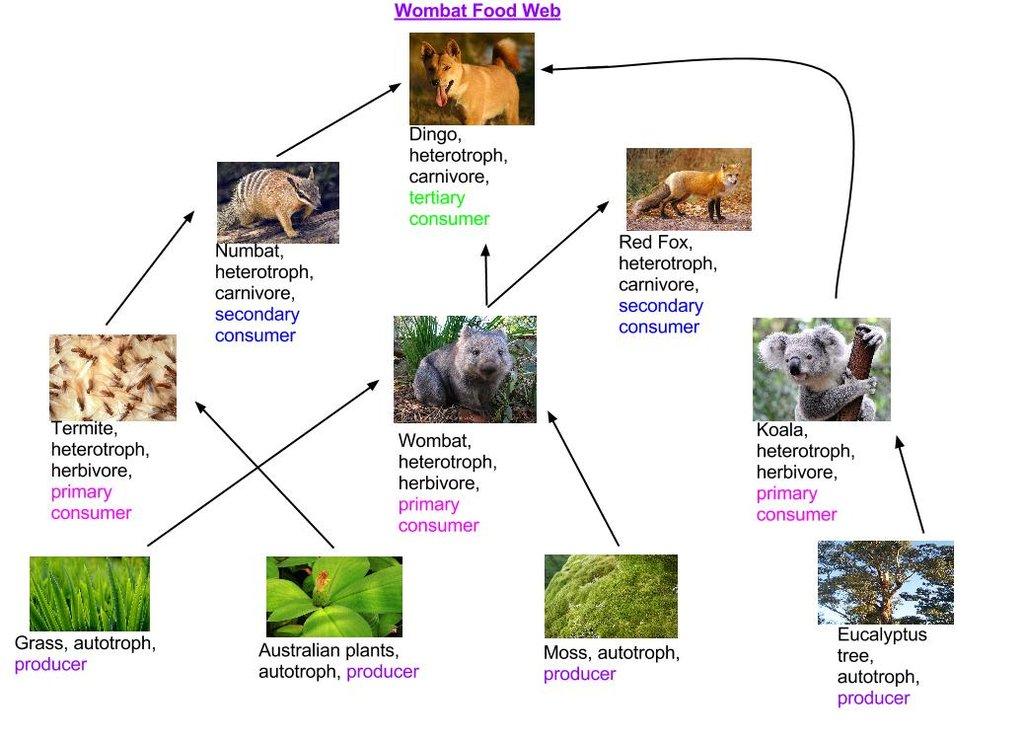 Wombat Food Web
