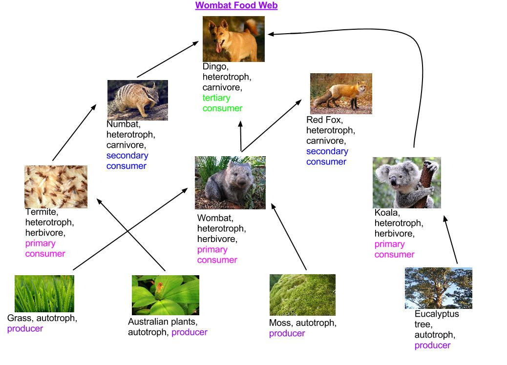 Wombat Food Web