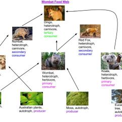 Tropical Rainforest Food Web Diagram Boat Running Light Wiring Wombat