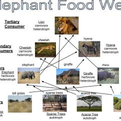 African Elephant Food Chain Diagram Wiring Heating Systems Central S Plan And Photo 3