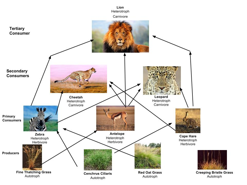 simple food chain diagram telephone cable wiring uk cheetah web - thinglink