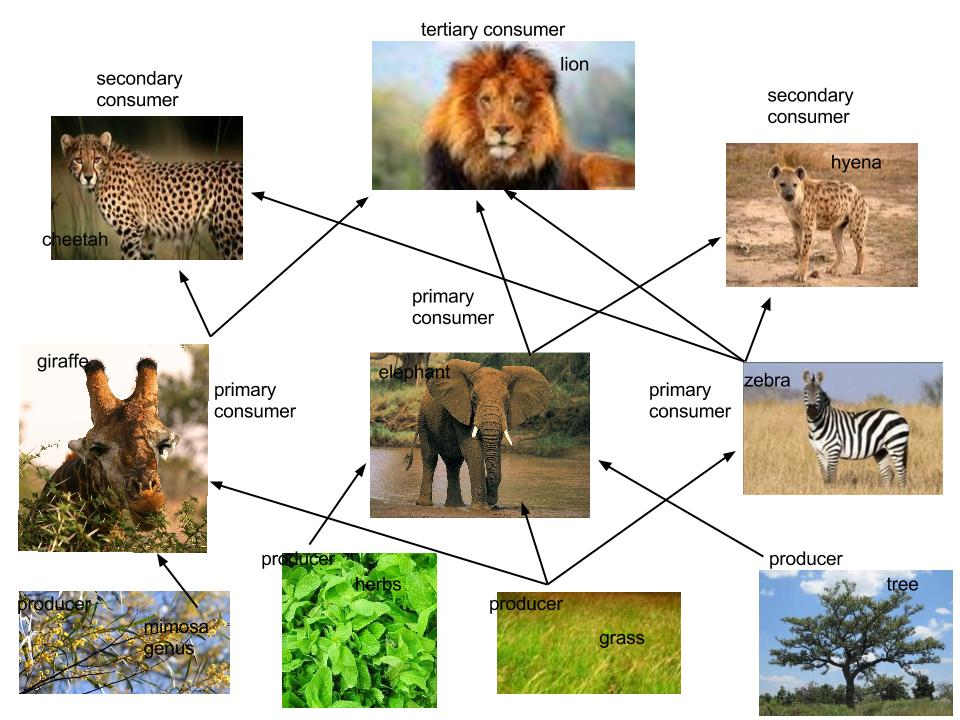 african elephant food chain diagram wiring for rv battery isolator web - thinglink