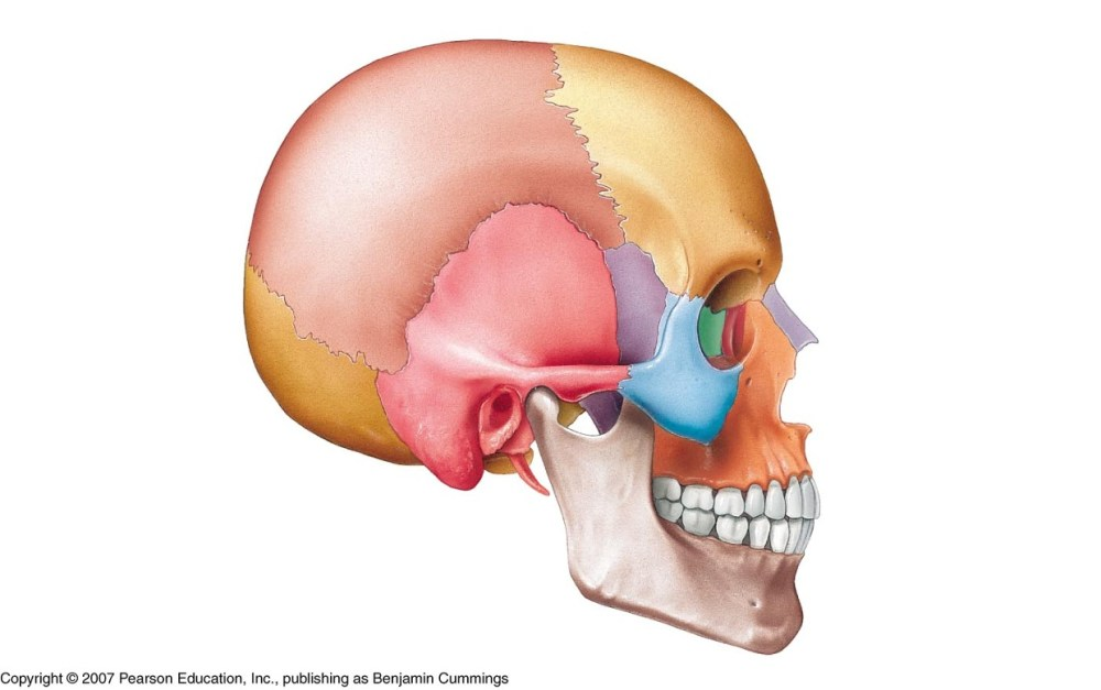 medium resolution of lateral of skull blank diagram