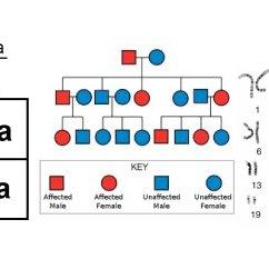 Simple Pedigree Diagram Yamaha Gas Golf Cart Wiring Punnett Squares, Karyotypes, And Charts