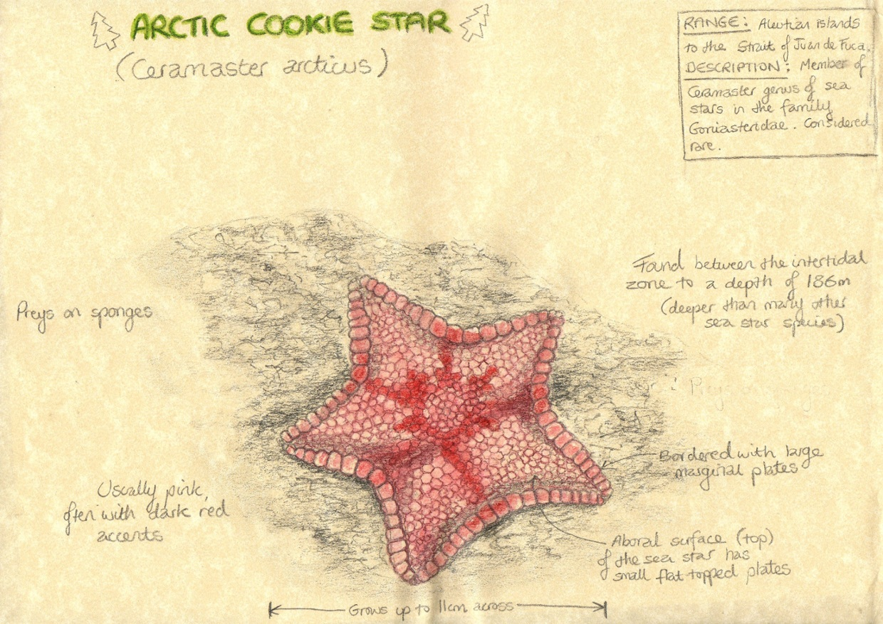 hight resolution of sea star aboral diagram
