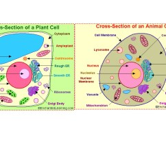 Plant Cell Diagram Only Track And Field Animal Cells
