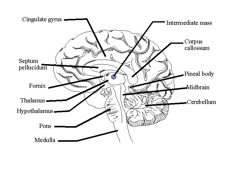 Think band of nerve fibers that divide the cerebrum into