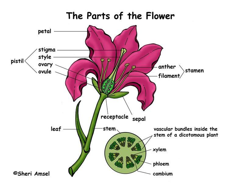 Rose Flower Diagram Diagram Of Flower Parts