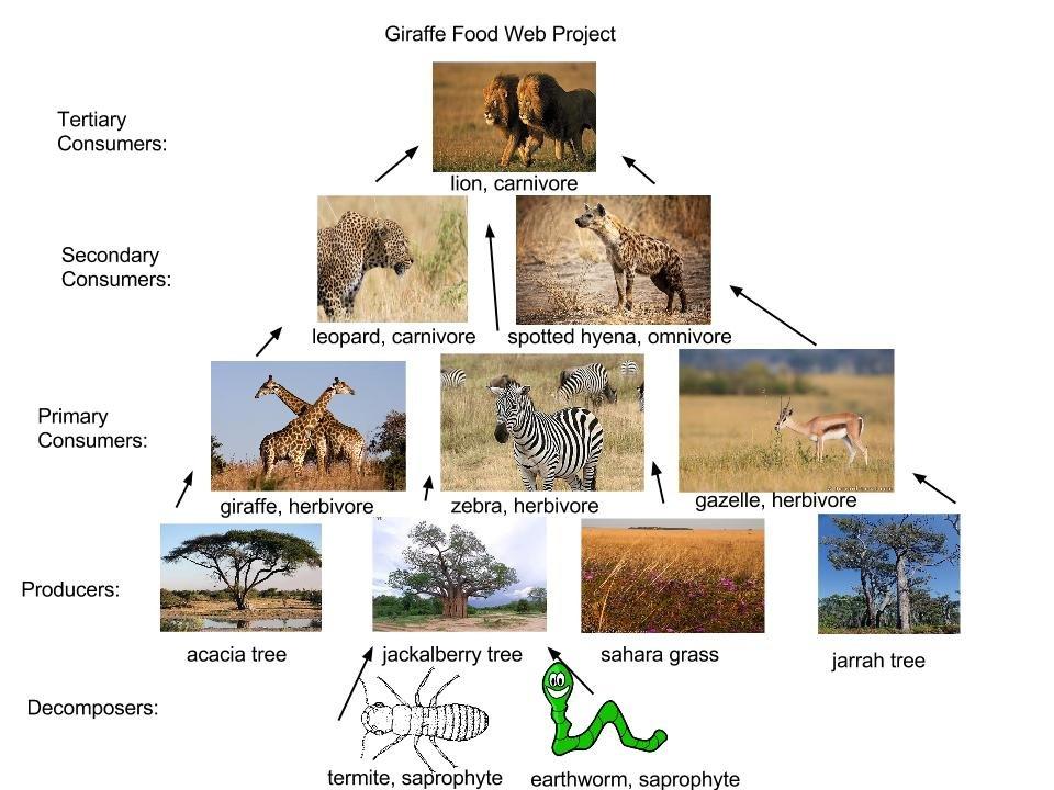 savanna animal food chain diagram meter socket wiring giraffe web great installation of thinglink habitat grassland