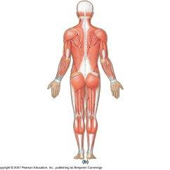 Back Muscles Diagram Unlabeled Context Visio Example Latissmus Dorsi Tricep Hamstring Adductor Magnus G