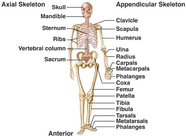 human mandible diagram skull without labels the skeletal system - thinglink