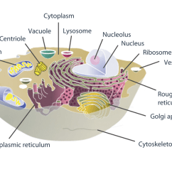 Lysosome Cell Diagram Yamaha Golf Cart Wiring Gas Zoo As An Animal Thinglink