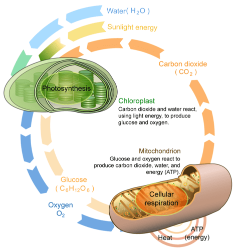 energy level diagram for oxygen 2 zone valve wiring photosynthesis and cellular respiration - thinglink