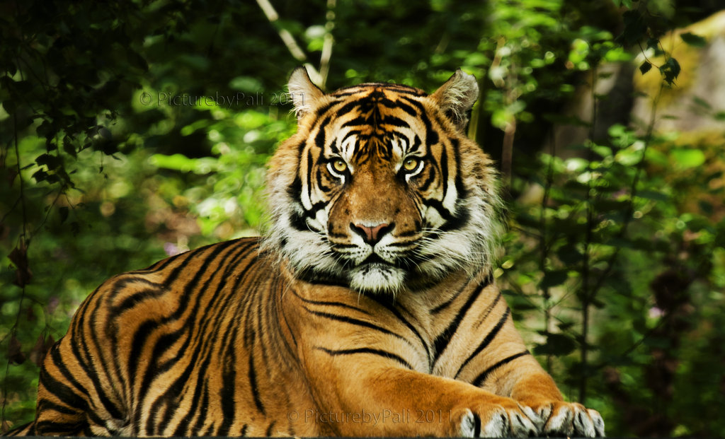 Forest Hd Live Wallpaper For Pc Sumatran Tiger
