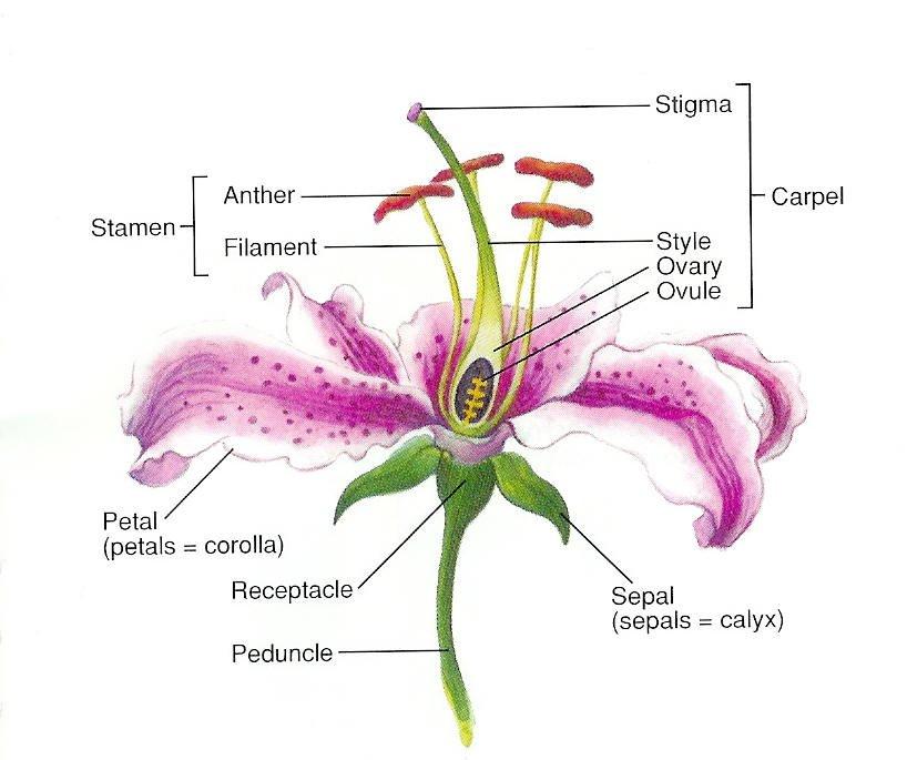 Flower Parts And JobsBryan Huichapa