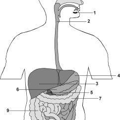 Anatomy Digestive Diagram Salivary Glands Guitar Jack Wiring Pharynx Esophagus Liver Stomach Galb