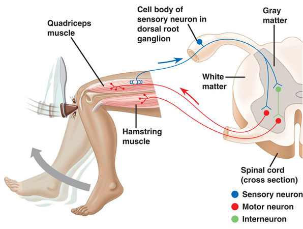 diagram of sciatic nerve pathway earth labeled patella tendon, reflex hammer, arc