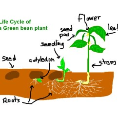 Bird Life Cycle Diagram Clarion Vz401 Wiring Of A Plant
