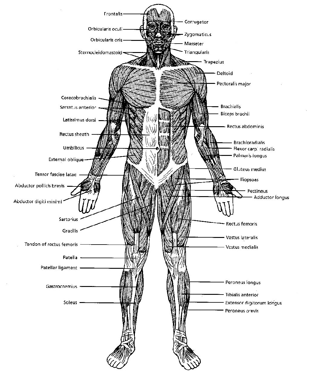 Attached to the bones of the skeletal system are about 70...