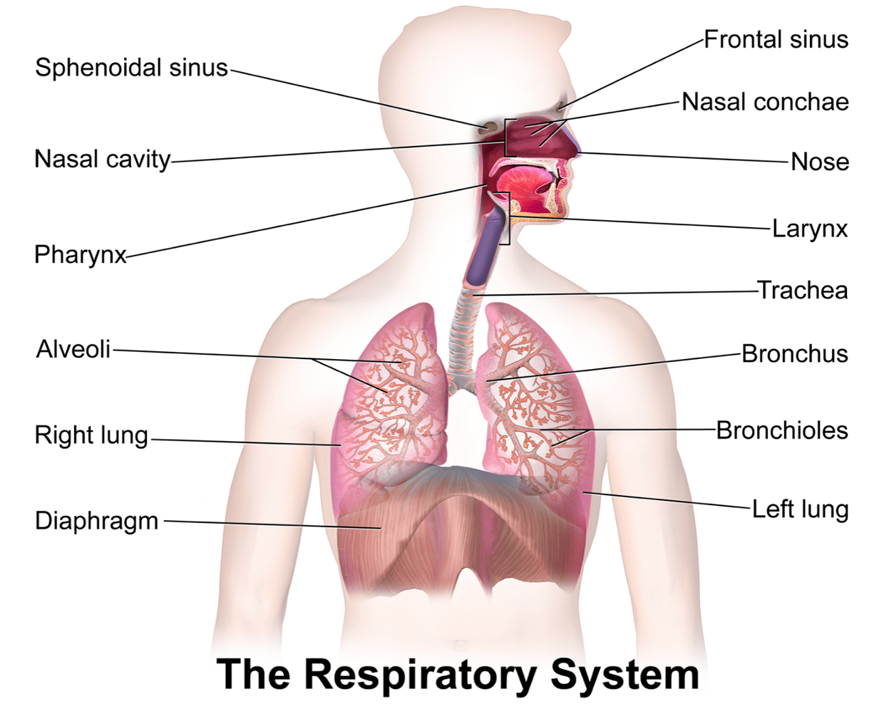 diagram of respiratory syste apexi pen type turbo timer wiring the system thinglink