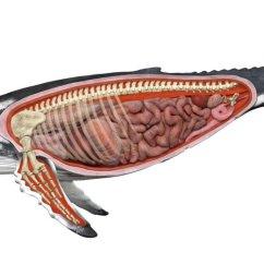 Whale Digestive System Diagram 2000 Ford F150 Power Window Wiring The Anatomy.