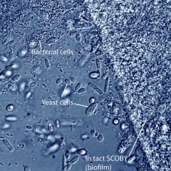 Easy Diagram Of Plant Cell Space Suit Labeled Bacteria And Yeast Cells