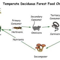 Energy Transformation Diagram Types How To Set A Formal Table For Dinner Deciduous Forest Food Chain