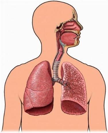 Sistem Pernapasan Manusia : sistem, pernapasan, manusia, Pengertian,, Organ, Pernapasan,, Jenis, Gangguan, Sistem, Pernapasan, Manusia, Ngelmu