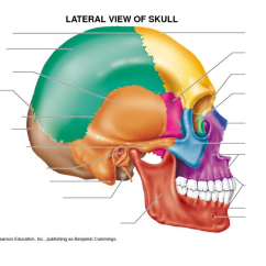 Ethmoid Bone Diagram Roller Shutter Switch Wiring Frontal Sphenoid Lacrimal