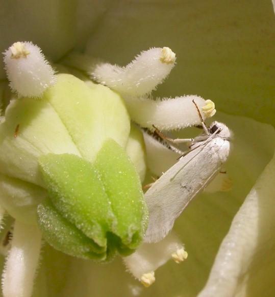 Yucca and Yucca moth