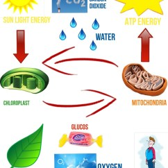 Photosynthesis And Cellular Respiration Cycle Diagram 2006 Nissan Sentra Fuse Energy