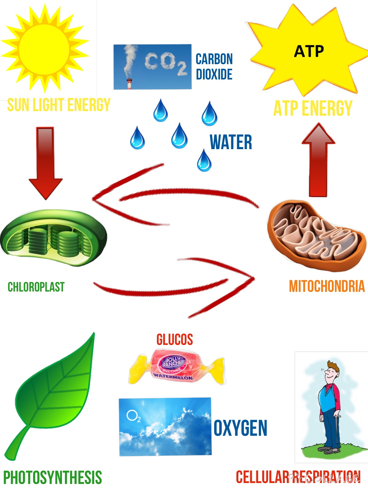 photosynthesis and cellular respiration diagram ocean food chain energy cycle